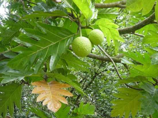 Хлебное дерево