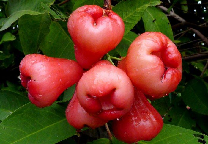 Розовое яблоко (Rose apple)