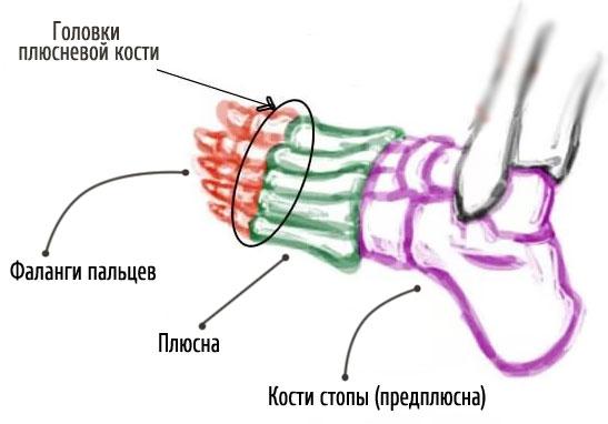 анатомия ступни человека